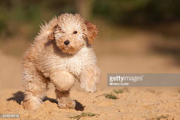 A Labradoodle puppy of 9 weeks on 2 legs standing!