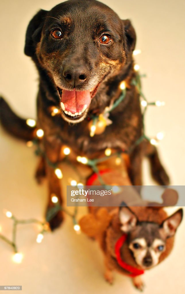 labrador and chihuahua wrapped in christmas lights stock photo - Dog Christmas Lights