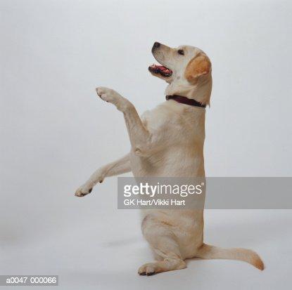 Labrador Begging : Stock Photo