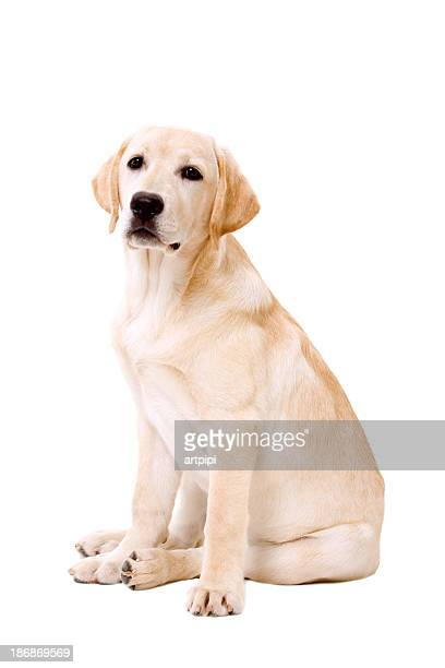 Labrador dog sitting on white background