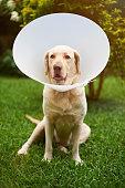 Labrador dog vet patient sit on green grass background