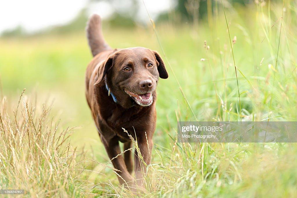 Labrador dog walking in  through grass