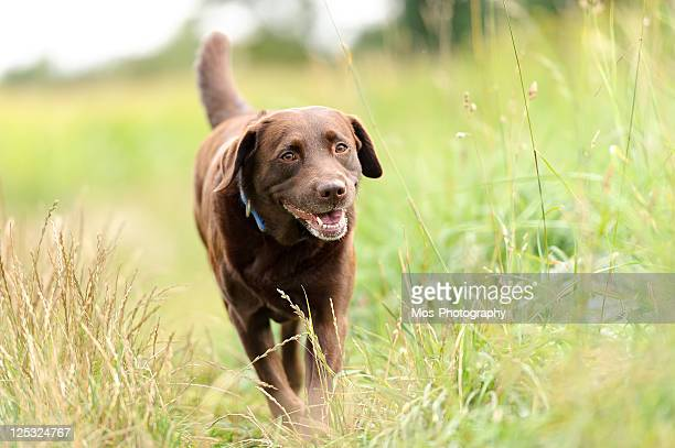 Labrador dog walking in  through grass