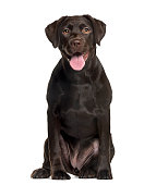 Labrador in front of white background
