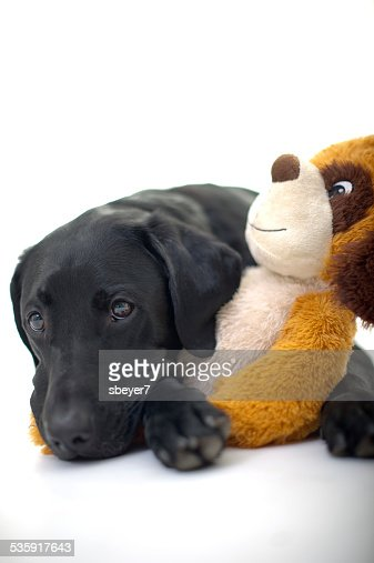 Labrador Laying with Soft Toy : Stock Photo
