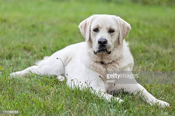 Labrador retriever sdraiato su un erba