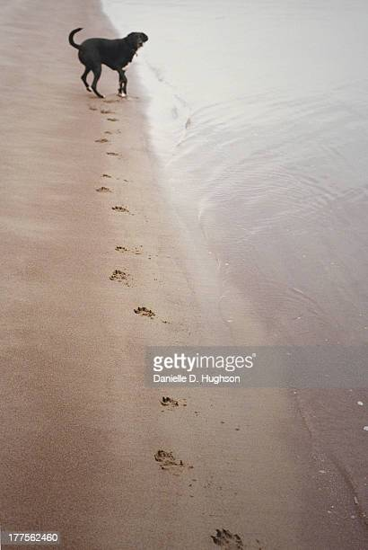 Labrador Mix And Paw Prints On Shoreline