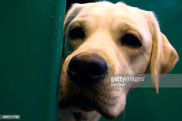 Labrador peers from its box on the first day of Crufts dog show at the National Exhibition Centre on March 5 2015 in Birmingham England First held in...