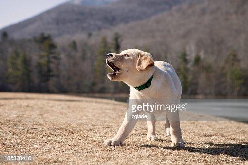 Barking Puppy