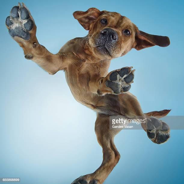 Labrador Puppy Dancing