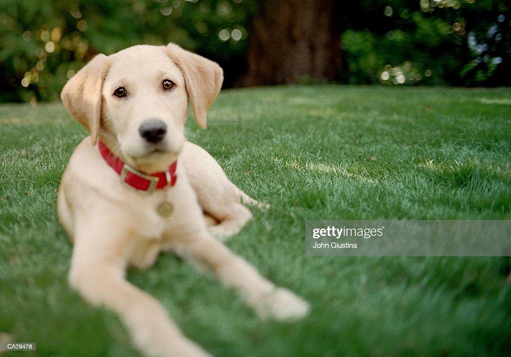 Labrador puppy lying on grass, close-up : Stock Photo