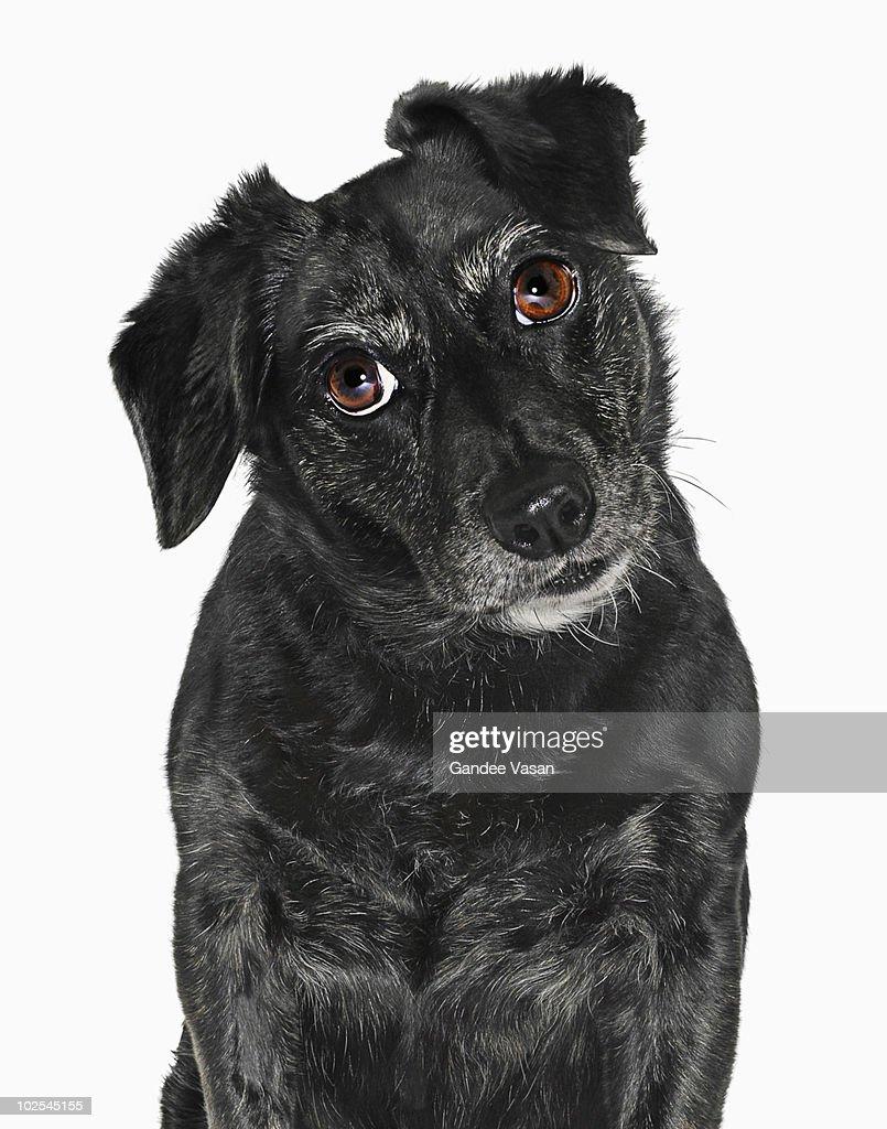 Labrador puppy : Stock Photo