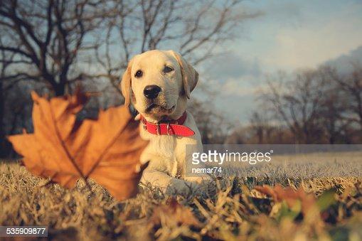 Labrador cachorrinho sentado perto de Vintage Retro Instagram filtro : Foto de stock