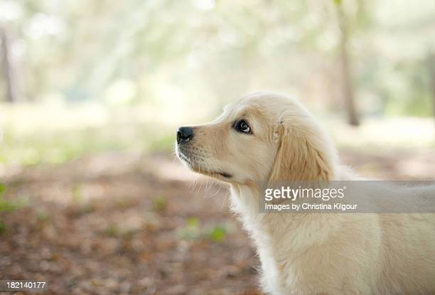 Labrador Puppy Standing In A Woodland