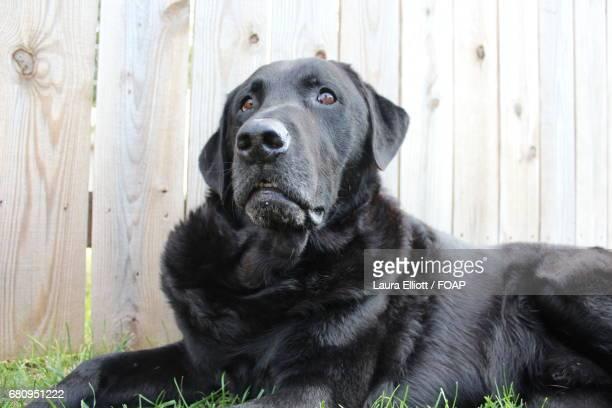 Labrador resting on grass