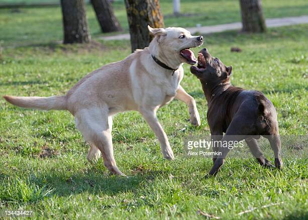 labrador retriever e pitbull terrier