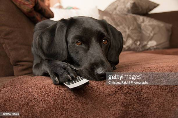 Labrador Retriever changing TV channels