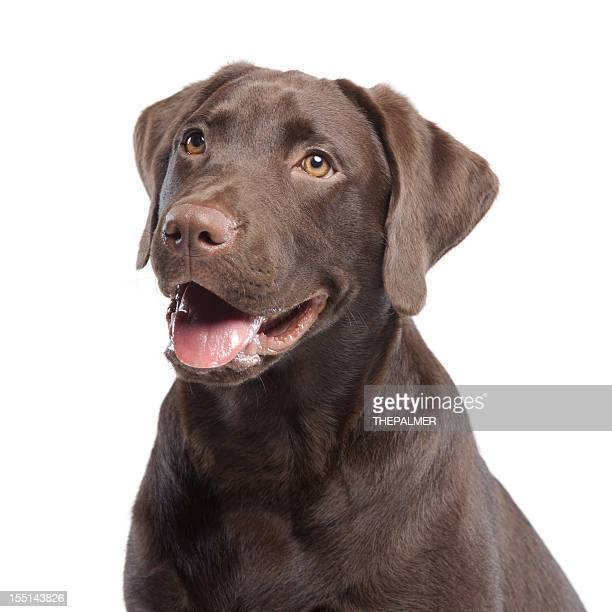 Labrador retriever chocolate