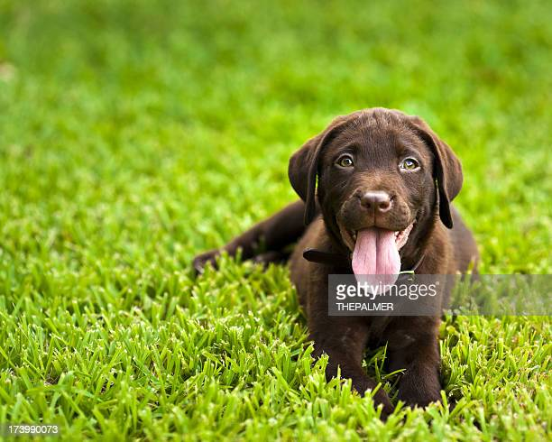 Labrador retriever chocolate cachorrinho