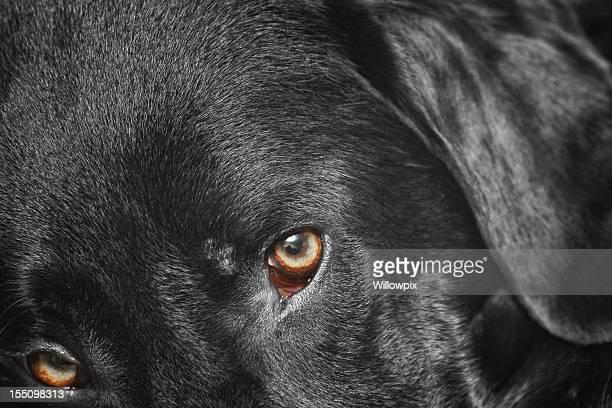 Labrador Retriever cane Eye-Primo piano