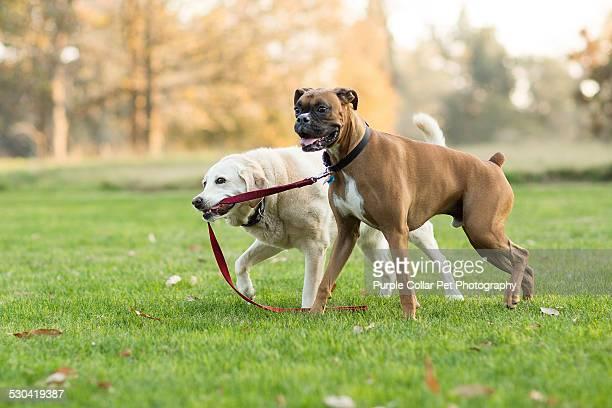 Labrador Retriever Dog Leads Boxer Dog by Leash