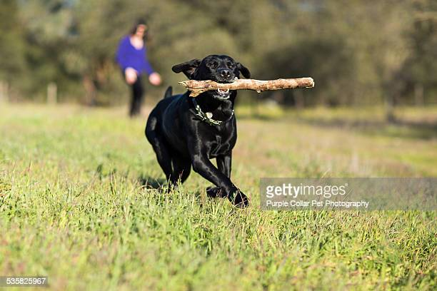 Labrador Retriever Dog Running with Stick
