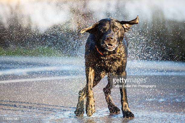 Labrador Retriever dog shaking off water