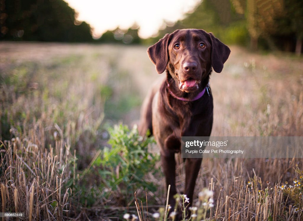 Labrador Retriever Dog Standing in Field