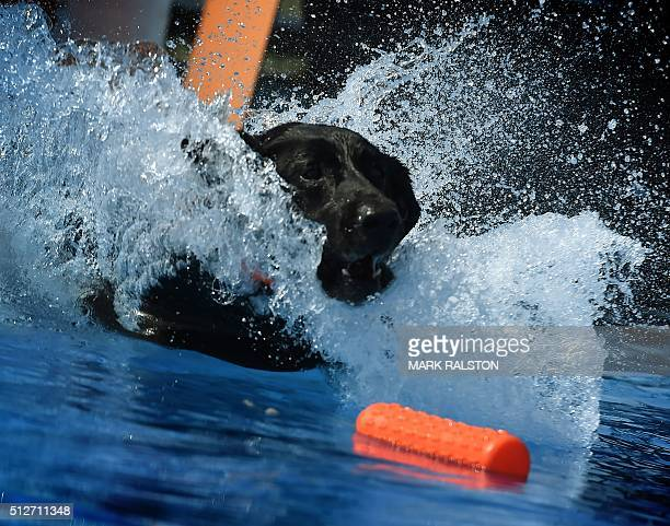 Labrador Retriever 'Harley' lands in the water during the Dock Dogs West Coast Challenge in Bakersfield California on February 26 2016 The current...