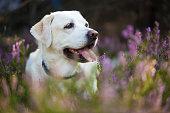 Labrador retriever in heather flowers