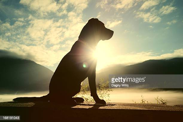 Labrador Retriever in Sun Flare