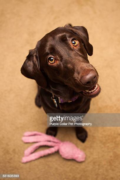 Labrador Retriever Looking up with Toy at Feet