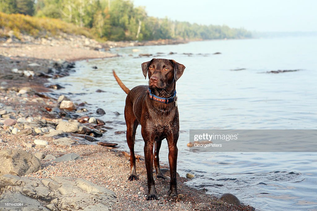 Labrador Retriever on Lake Superior : Stock Photo
