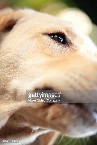 Labrador retriever : Foto de stock