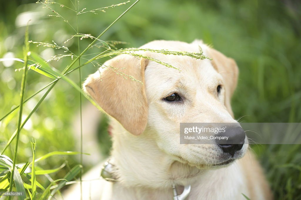 Labrador : Foto de stock