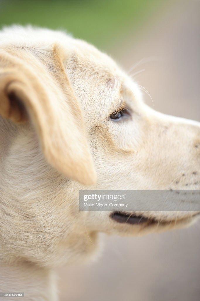 Labrador retriever : Stock Photo