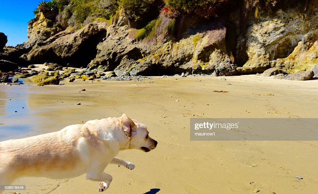 Labrador Retriever : Stock Photo