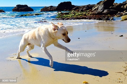 Labrador Retriever : Stockfoto