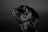 Portrait of a beautiful black Labrador Retriever (on a black background)