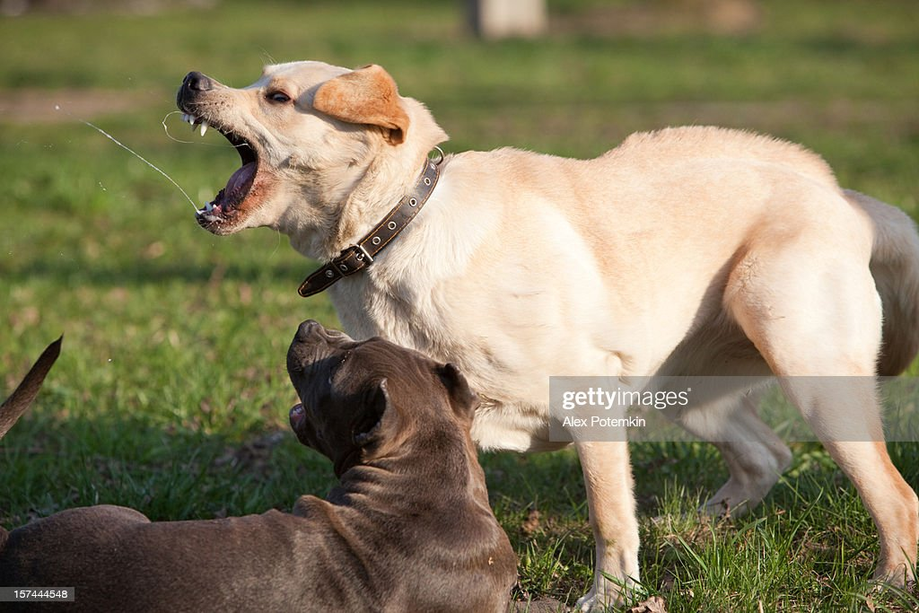 Labrador Retriever Playing With Pit Bull Terrier Stock