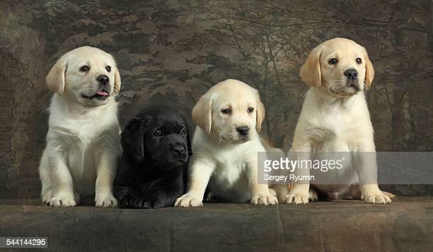 Labrador retriever puppies.