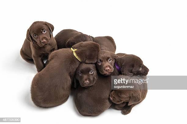 ラブラドールレトリバー puppies に座って、白背景