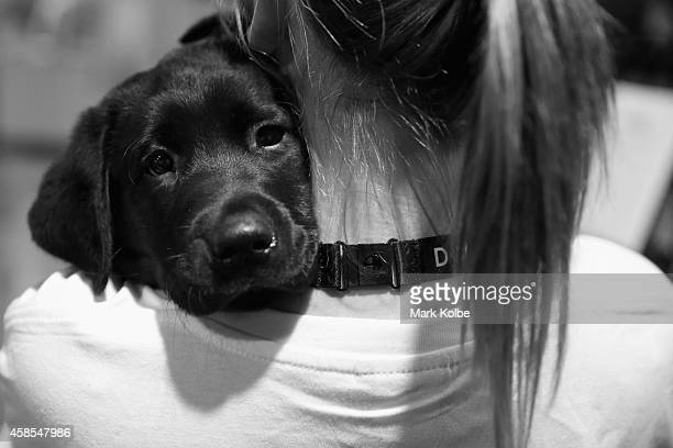 A Labrador Retriever puppy is held in the PatAPooch zone of the Dog Lovers Show during the at Royal Hall of Industries Moore Park on November 7 2014...