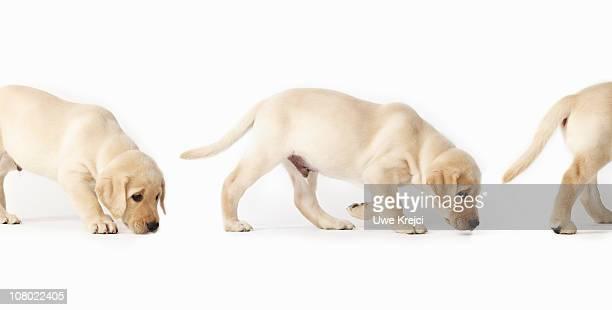 Labrador Retriever Puppy walking, montage