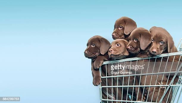 Labrador retriever puppys in supermarket trolley