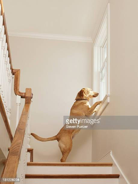 Labrador Retriever standing looking out window