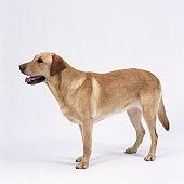 Labrador retriever standing