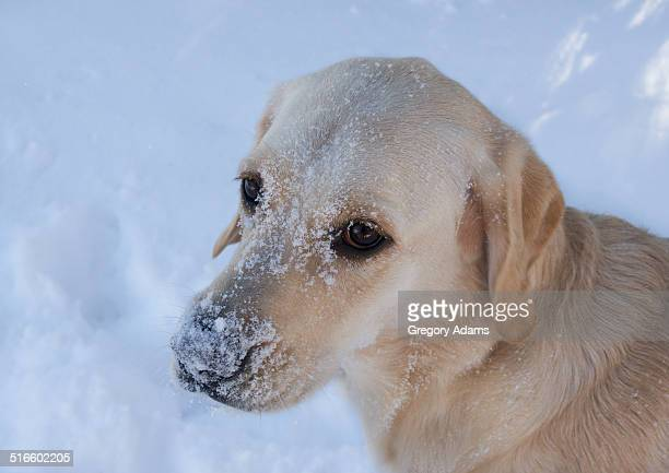 Labrador Retriever with a Snow Covered Face