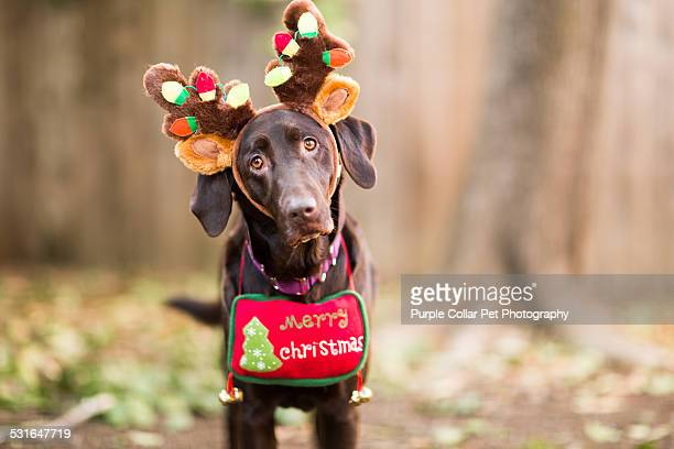 Labrador Retriever with antlers and Christmas sign