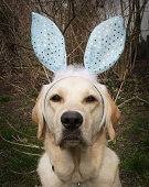 A Labrador Retriever with Bunny Ears